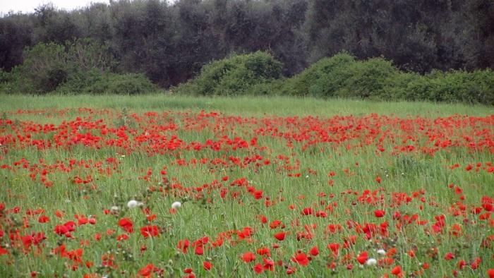 Red_field_7